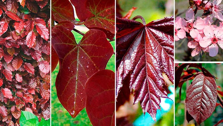 8 rboles con hojas de color rojo p rpura o bronce for Arboles de hoja perenne para jardin