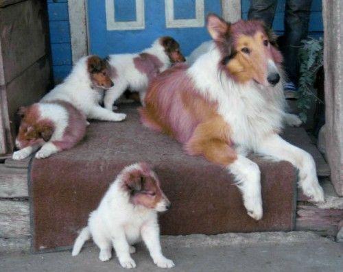 Show Quality Border Collie Tricolour Border Collie Puppies