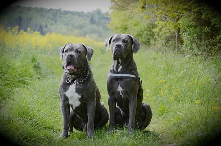 My Love X X X Cane Corso Dog Doggy Dog Love