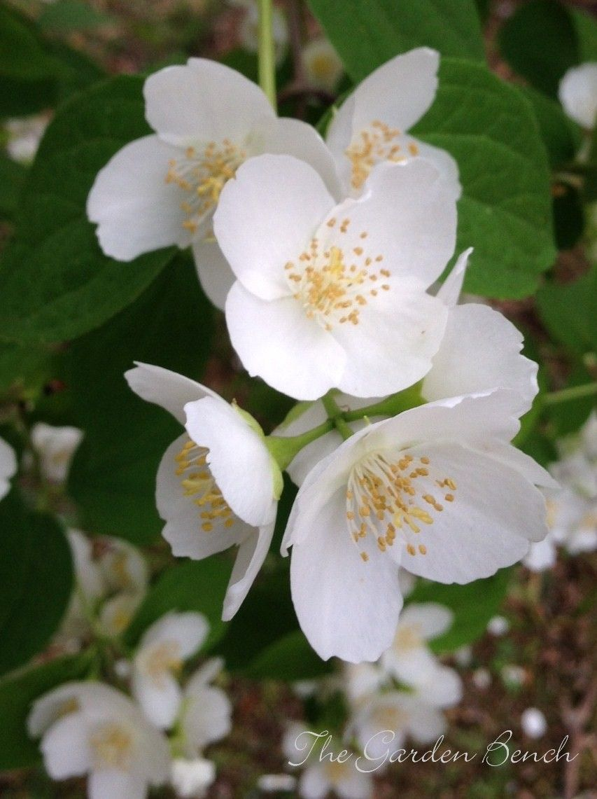 Prune To Preserve The Sweet Scent Of Mock Orange Mock Orange Mock Orange Shrub Mock Orange Bush