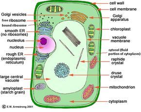 3d Cell Model Project Animal Cell Cell Diagram Plant Cell