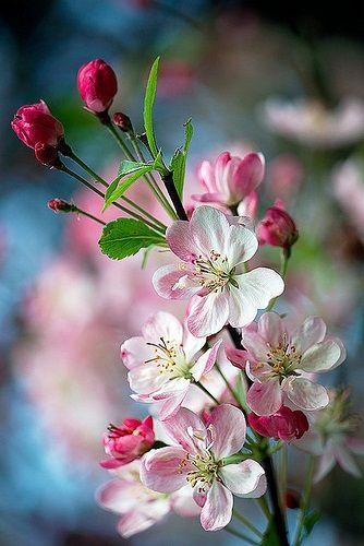 Apfel Malus Domestica Versuchung Blumen Apfel Blumen