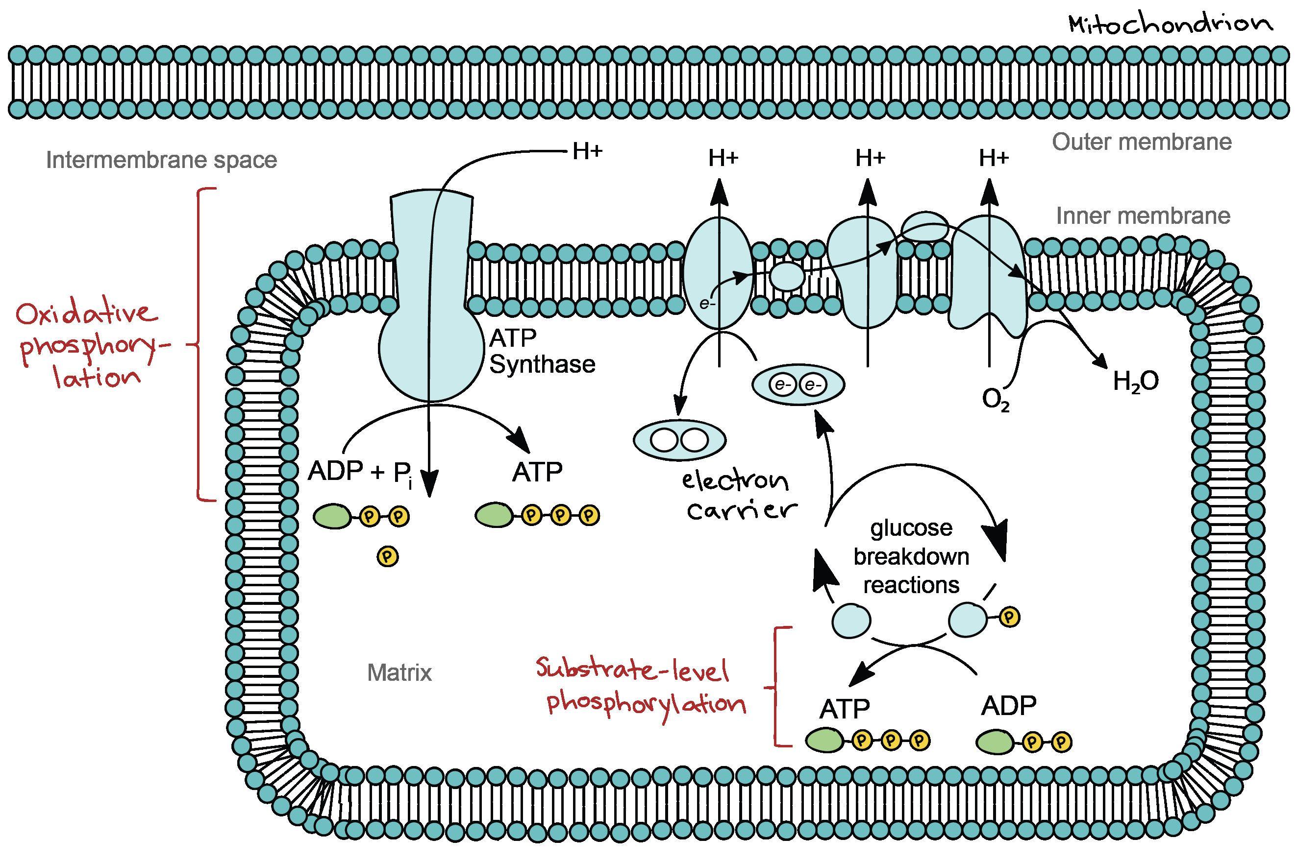General Cellular Respiration Worksheet Answer Key Cellularrespiration [ 1758 x 2646 Pixel ]