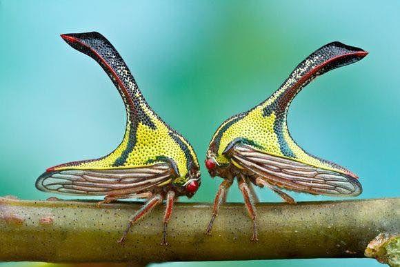 Treehopper (Umbonia Spinosa)