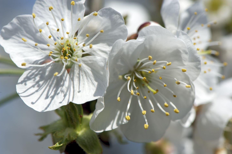 les fleurs de cerisier se d voilent en avril bourgeons. Black Bedroom Furniture Sets. Home Design Ideas
