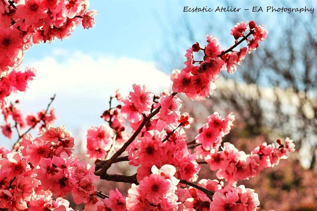 Life Is Like A Cherry Blossom Tree Very Fragile Yet So Beautifully Life Is Like A Cherry Blossom Tree Very Fragile Y Blossom Trees Cherry Blossom Tree Blossom
