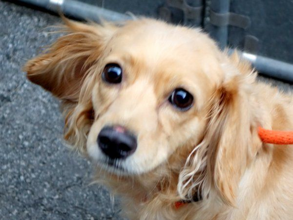 SAFE 5172015 by Abandoned Angels Cocker Spaniel Rescue