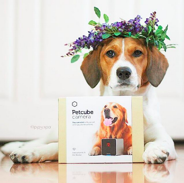 We Re Crazy About This Beautiful Beagle And Her Flower Crown All The Coolest Pet Stars On Streaming On Petcube Pet Cameras Pet Camera Cool Pets Pets