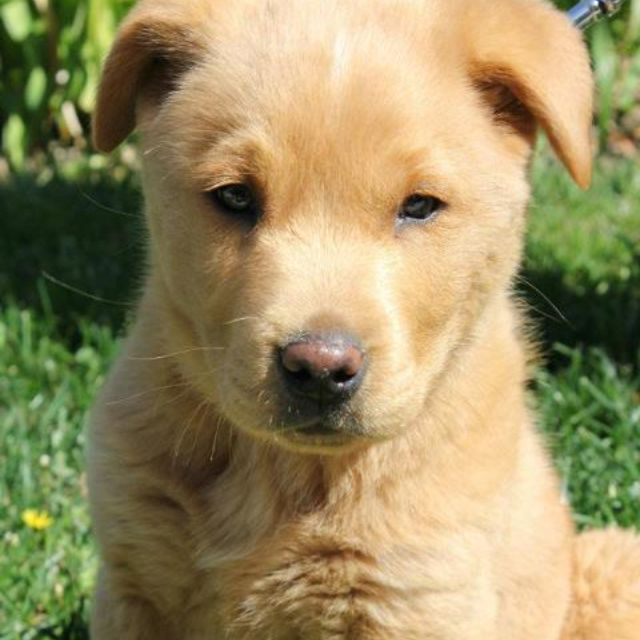 My Baby Yogi Chow Lab Mix Chow Lab Mix Lab Mix Puppies Dogs