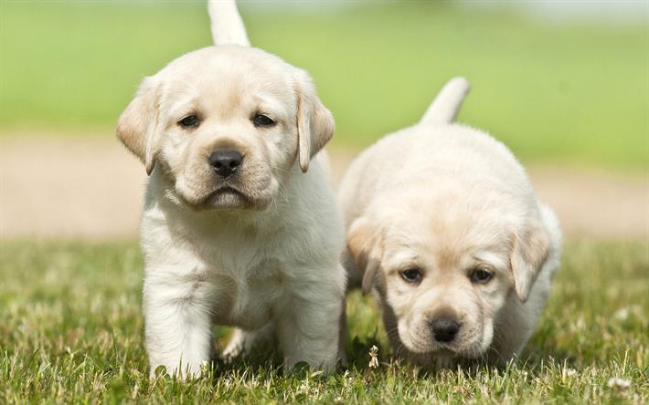 Download Wallpapers 4k Labradors Puppies Golden Retriever Cute Dog Pets Small Labrador Cute Animals Besthqwallpapers Com Labrador Puppy Cute Puppies Labrador Dog