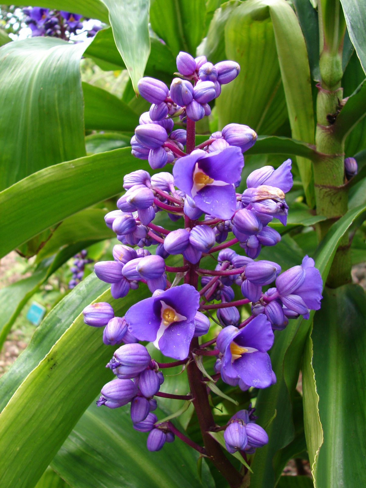 3 Live Canes Gorgeous Sapphire Blue Ginger Hawaii Plant Ebay