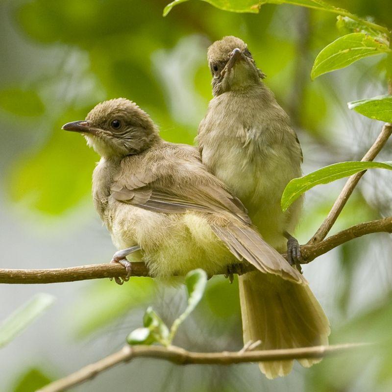 Birds Streak-eared Bulbul