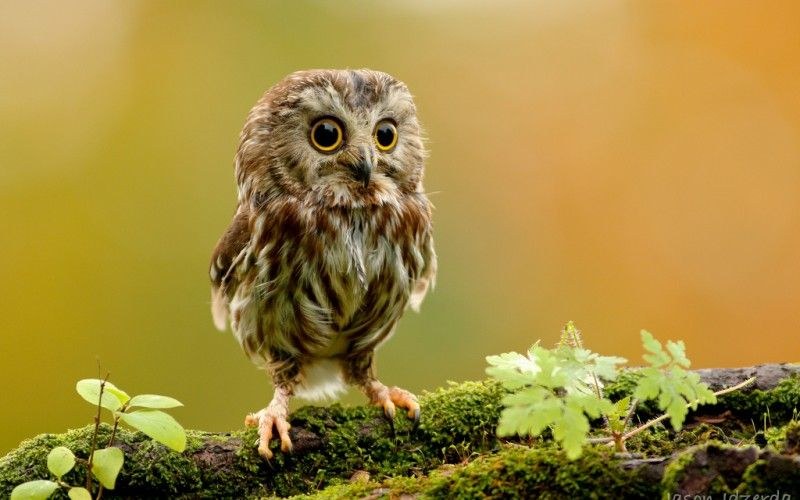 Miniature Northern Saw-whet Owl, native to North America.