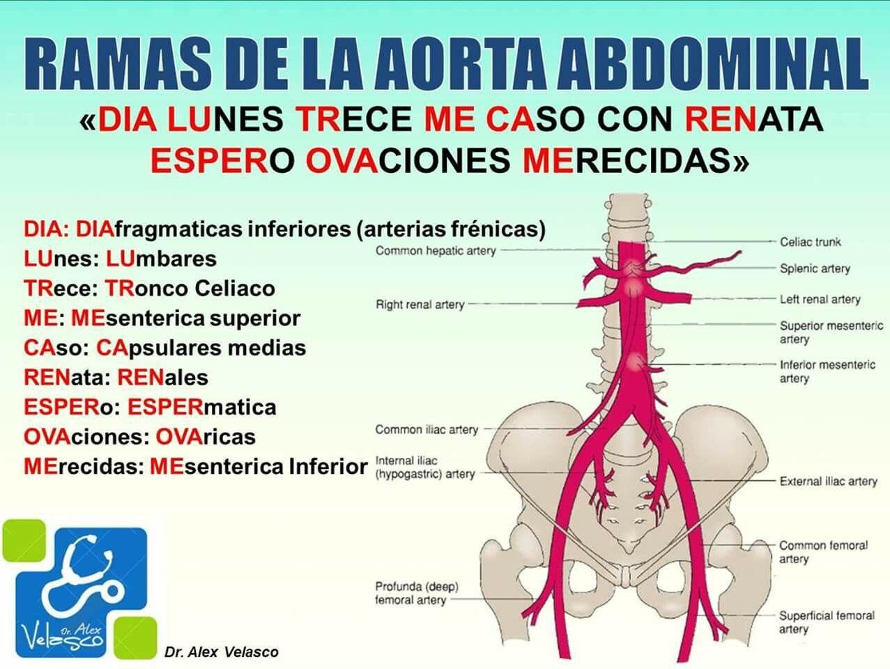 Ramas aorta abdominal | Medicina | Pinterest