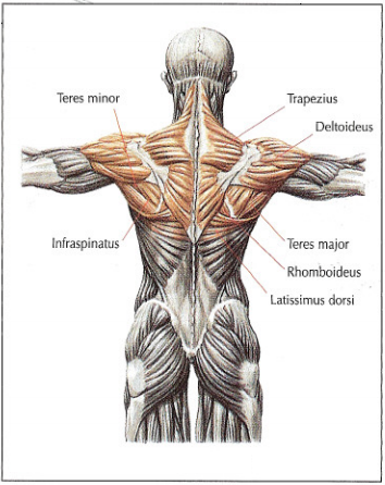 Schoulders and upper back