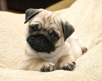 Pin By Jacqueline Roth On Cute Pug Puppies Cute Pugs Pugs Cute Pug Puppies