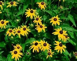 How To Divide Black Eyed Susans With