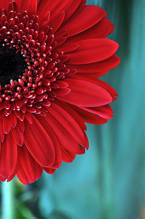 Red Gerber Daisy Flower Photograph Aqua Teal Red Fine Art