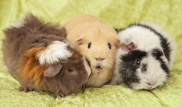 Pin On Guinea Pigs 3