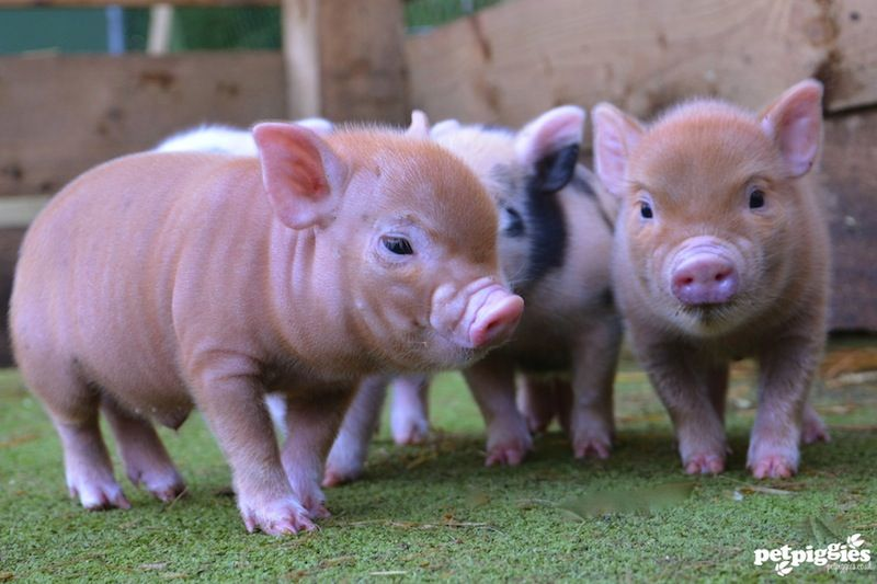 petpiggies have some stunning micro pig piglets available. check out