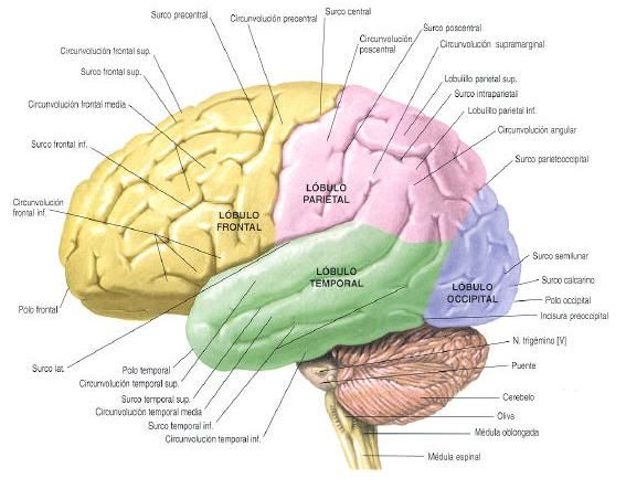 partes del cerebro para colorear  Google Search  Neuropedagoga