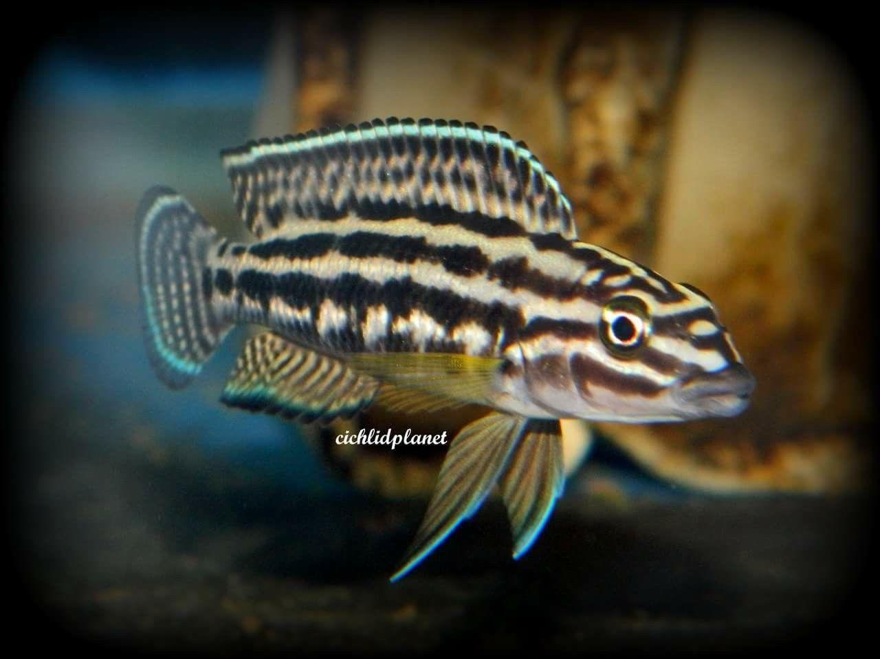 4 Julidochromis Burundi Live Freshwater Aquarium Fish African Cichlids A Group Of Four 1 F2 Julidochromis Tropical Fish Aquarium Aquarium Fish Cichlids