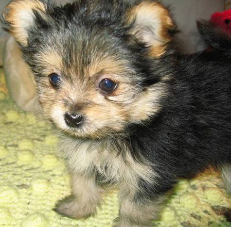 yorkie coton mix puppies Yorkshire terrier, Hunde welpen