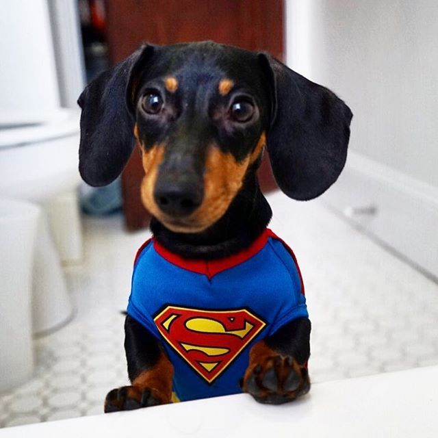 This Looks Like A Job For Superpup Thank You Petsmart For My Funny Dachshund Dachshund Funny Video Dachshund Funny Birthday