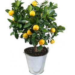 Oranger Calamondin Livraison Fleurs Fleurs Et Nature