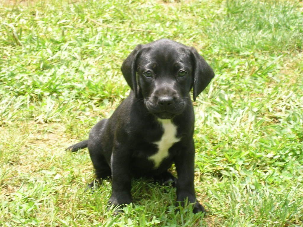 American Bulldog Puppies Black And White | www.pixshark ...