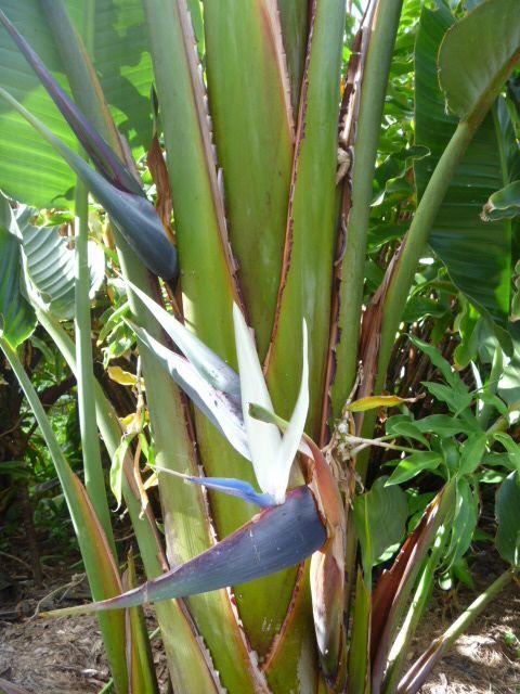 Feature Plant Whitegiant Bird Of Paradise Strelitzia Nicolai