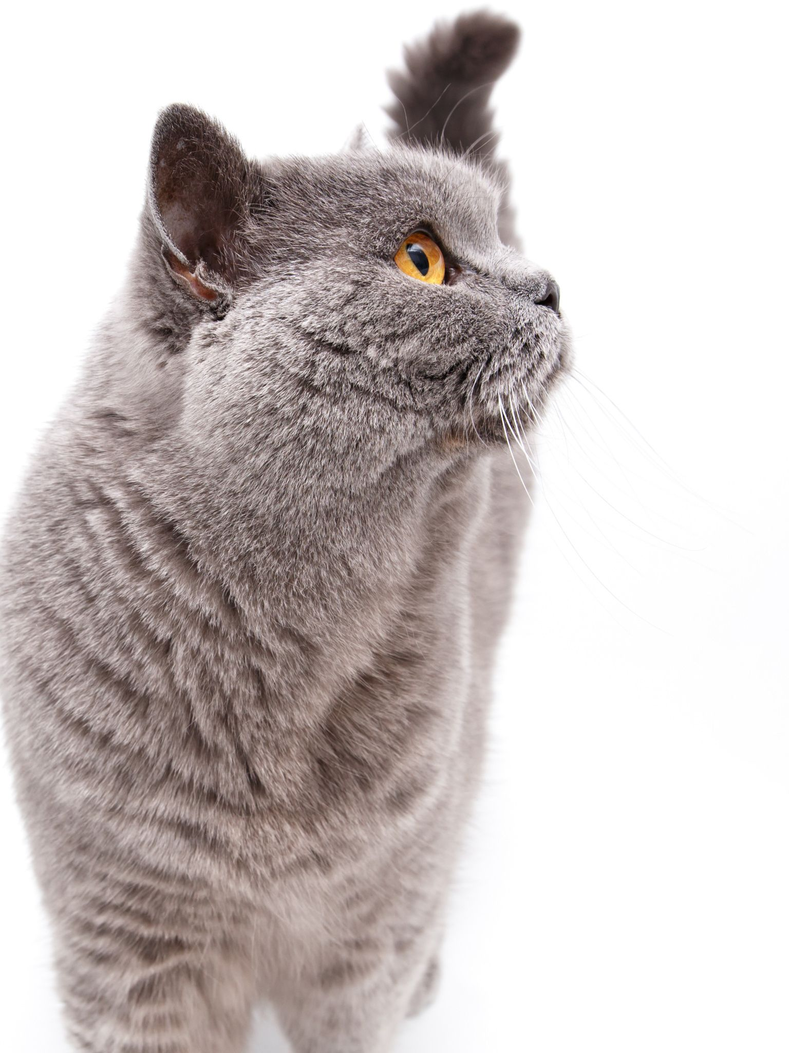 Portrait Of A Grey British Cat Portrait Of A Grey British Cat Isolated On White Background British Blue Cat Grey Cats Dog Cat Pictures