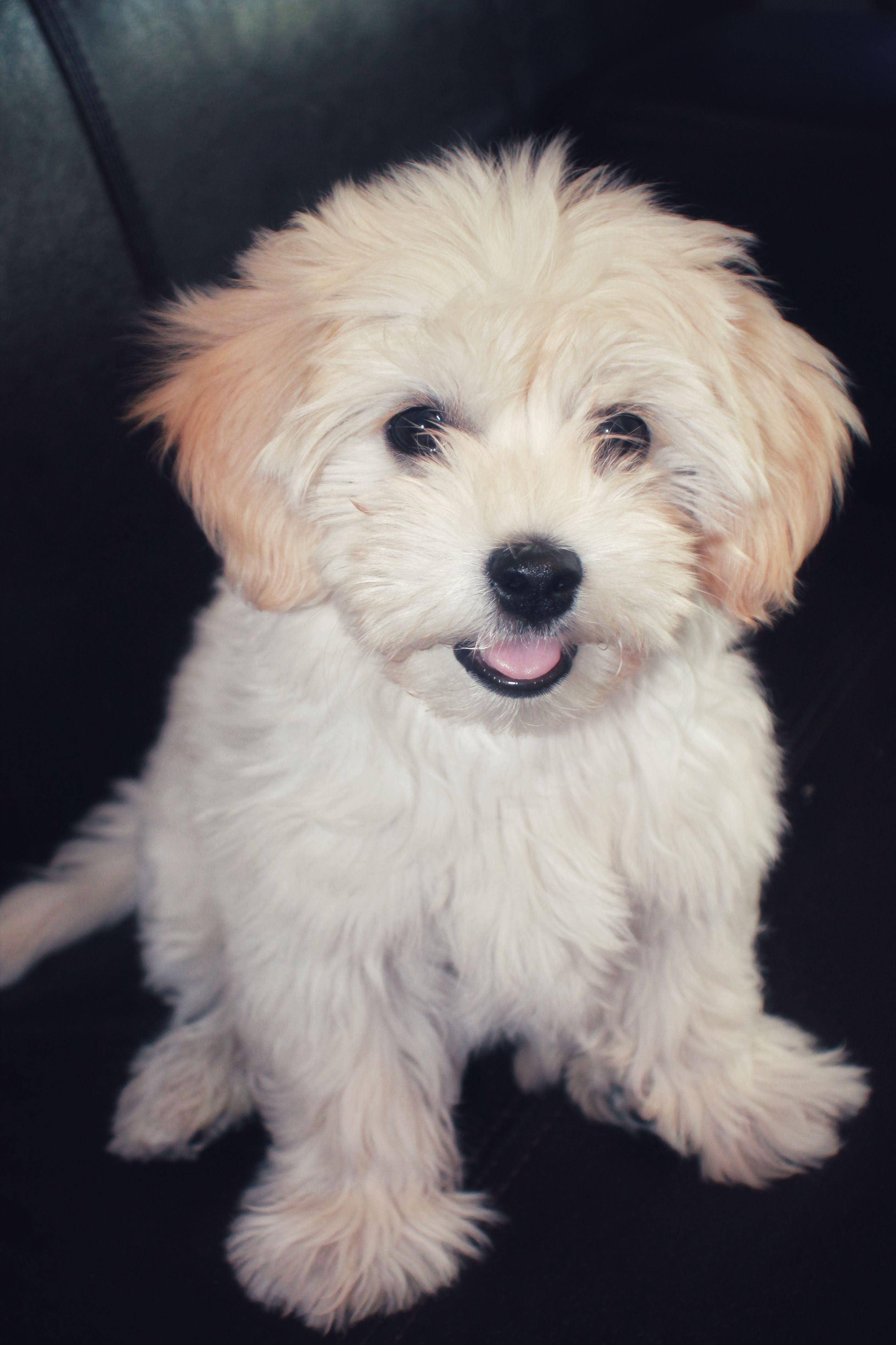 Havanese Google Images Havanese Dogs Dog Breeds That Dont Shed Havanese Puppies