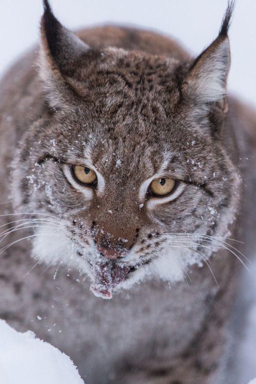 drxgonfly: Eurasian Lynx (by Jamen Percy)