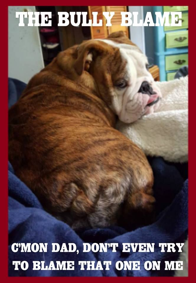 English Bulldog Pictures Bulldog Quotes English Bulldog