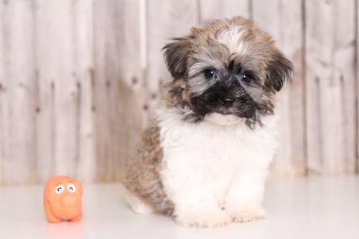Cavachon Puppies For Sale In Ohio Columbus Dayton Toledo Akron Cavachon Puppies Cavachon Cavapoo Puppies