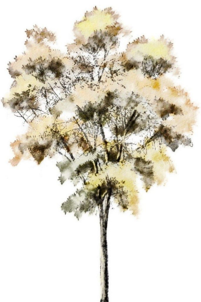 Watercolor Rendering Tree Photoshop Watercolor Trees Tree Sketches