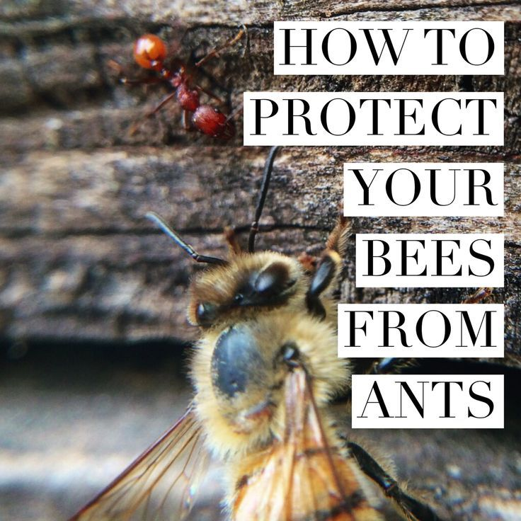 Learn how to keep ants out of your hives. Bee keeping