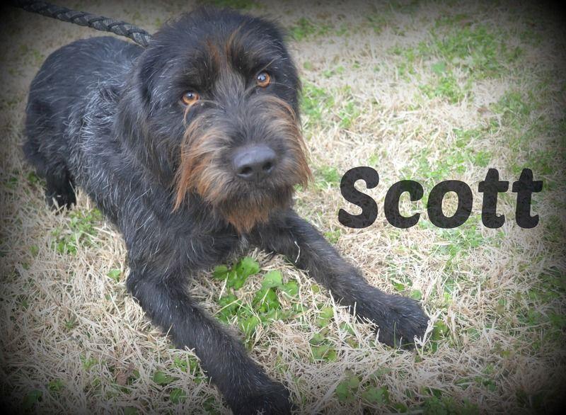 Schnauzer puppies for adoption in texas