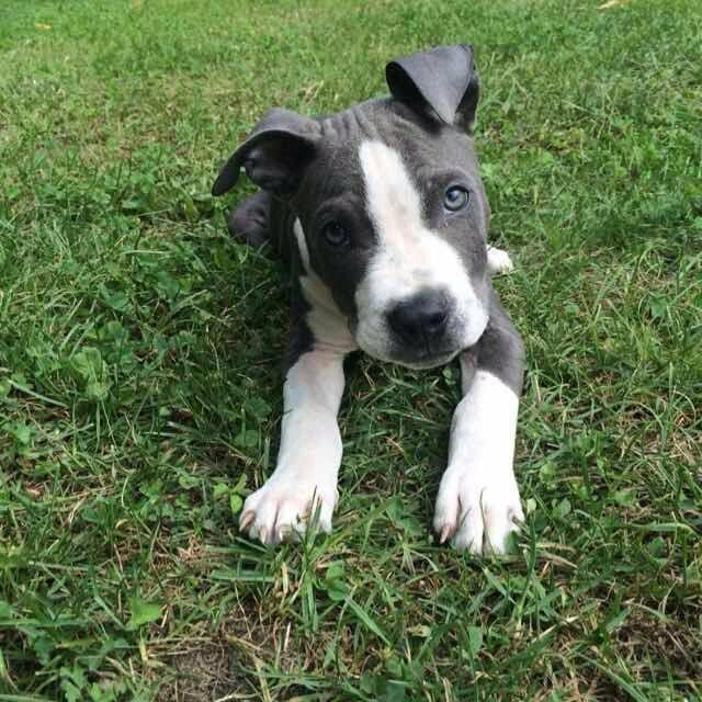 Blue Pawshake Susse Tiere Pitbull Welpen Niedliche Hunde
