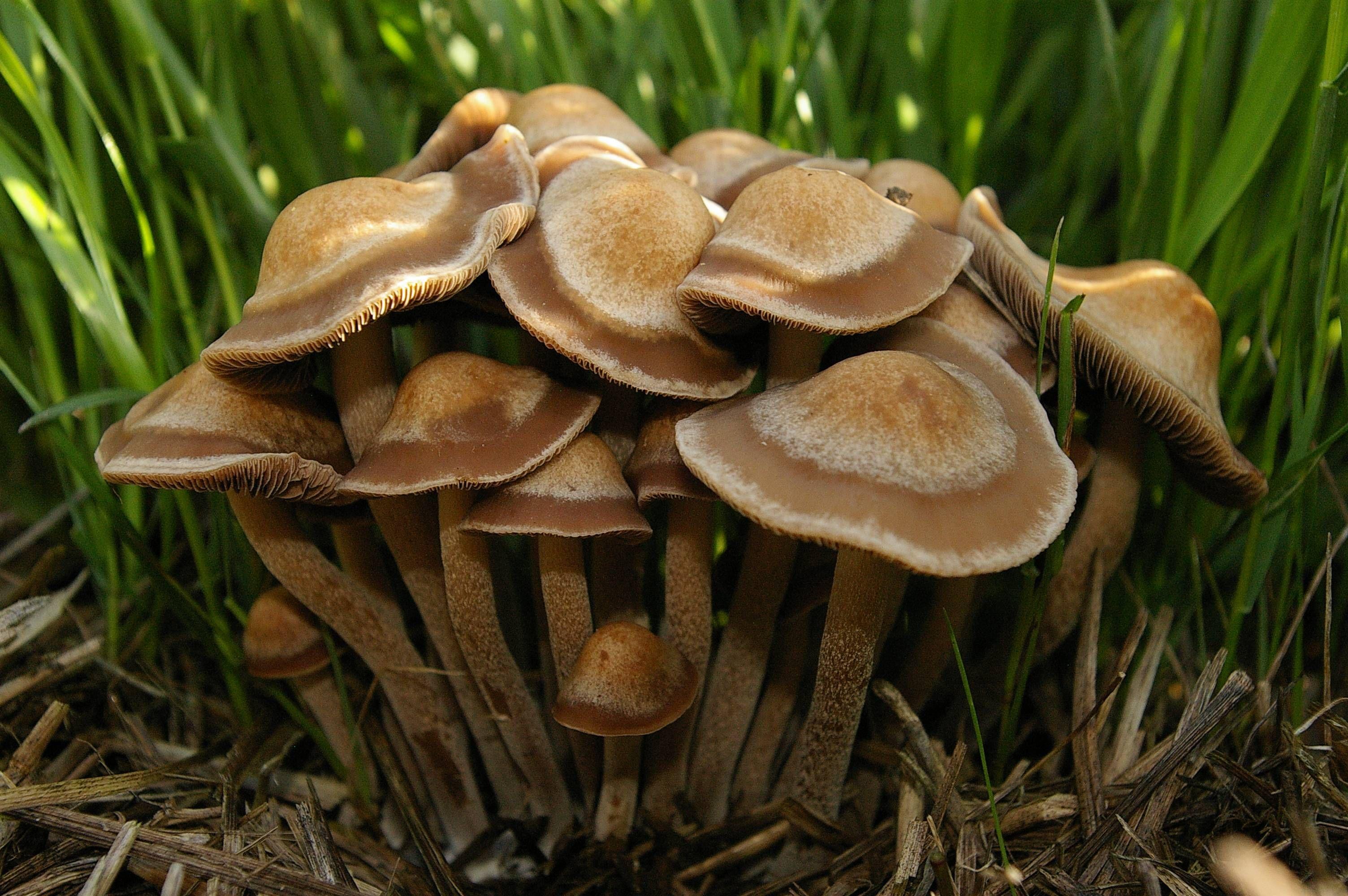 Panaeolus Cinctulus Subbalteatus On Hay Bale Mid Willamette Valley Oc 3008x2000 Stuffed Mushrooms Mushroom Fungi Hay Bales