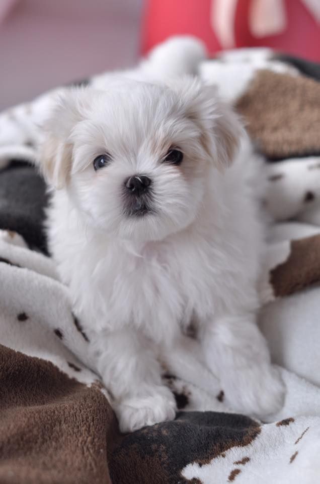 Maltipoo Puppies For Sale Rhode Island USA