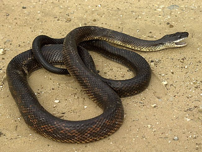 How To Get Black Snakes Out Of Your House