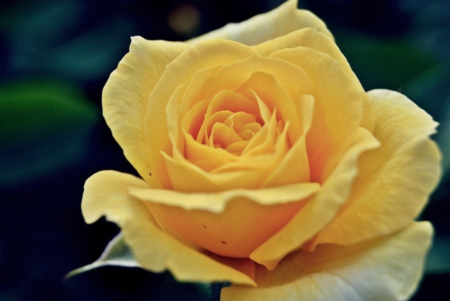 Akaka Falls Wallpaper Rosa Rose Nature Rose Flowers Yellow Roses