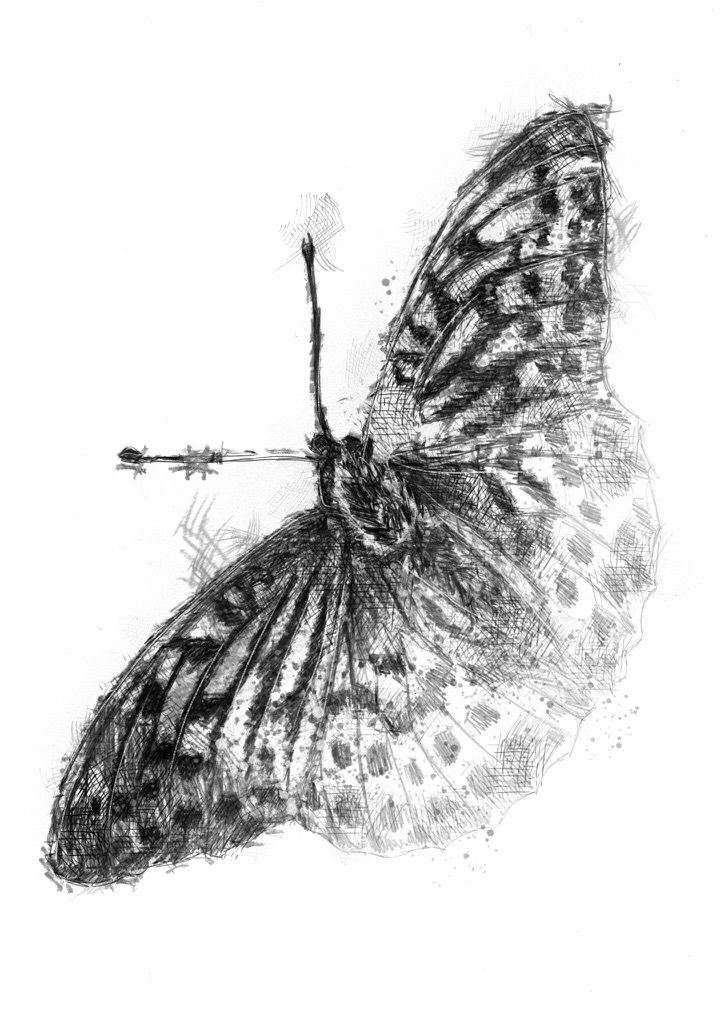 Fritillary nature journalpencil drawingsart drawingsuk
