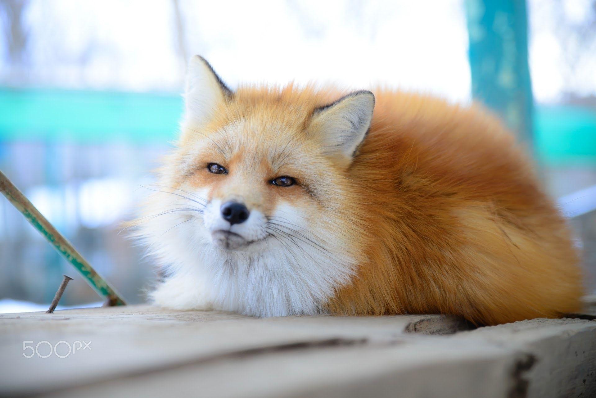 Red Fox by lyca K on 500px