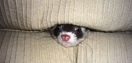 Are Ferrets Good Pets Download A Free Ferret World E Book Now