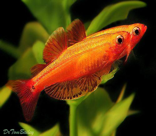 Premium Golden White Cloud 1 To 1 5 Long Tropical Fish Aquarium Fish Fish