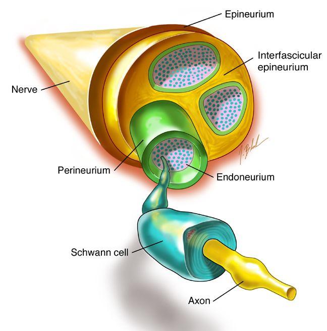 Anatomy of a nerve: A nerve consists of several nerve fibers ...