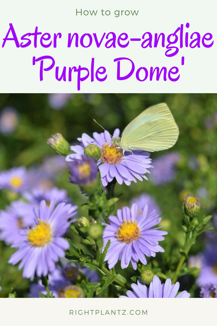 Aster Novae Angliae Purple Dome Plants Plant Finder Flowers